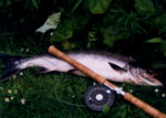 River Allan Salmon - taken on the fly after a summer spate.