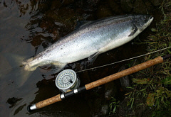 South Tyne Salmon